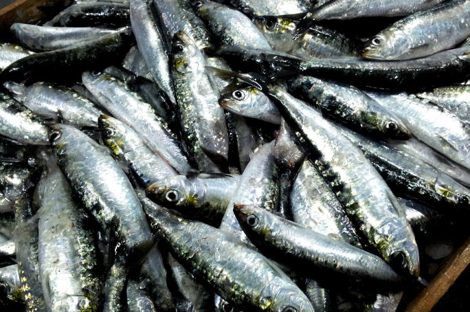 Sardine o alici: le differenze tra i pesci