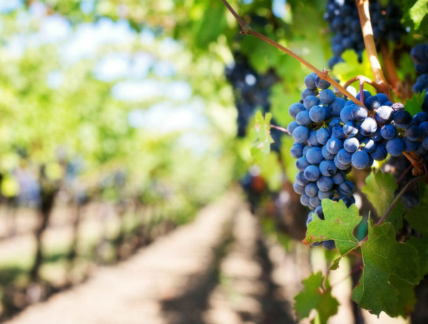 Vino biodinamico e biologico: quali sono le differenze?