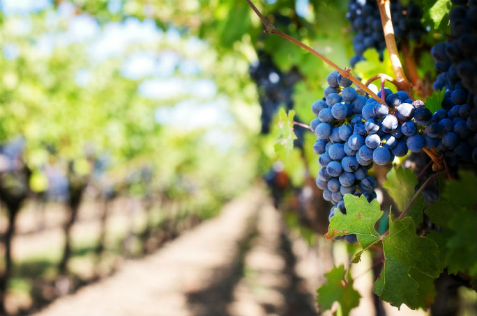 Le differenz tra vino biologico, biodinamico e naturale